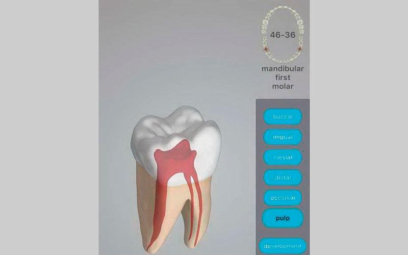 الصورة: Dental Corpus Anatomy.. تشريح لجذور الأسنان ونماذج ثلاثية الأبعاد لتطورها