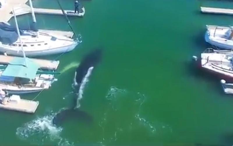 الصورة: بالفيديو.. حوت يتنزه بين القوارب في ميناء بكاليفورنيا