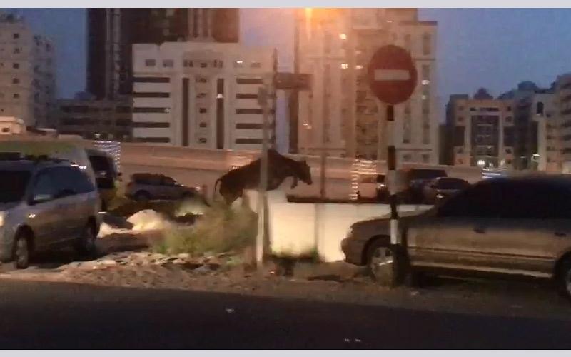 الصورة: بالفيديو... مطاردة عجل هارب في عجمان