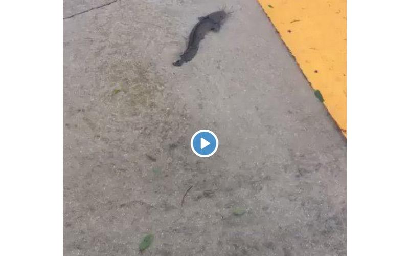 الصورة: بالفيديو..سمكة تتنزه في الشوارع وبين الحدائق