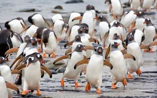 الصورة: نحل يقتل عشرات البطاريق المهددة بالانقراض