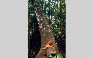 الصورة: قبائل الأمازون تخوض حرباً  مع قاطعي الأشجار