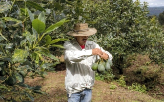 الصورة: شهية أميركا للأفوكادو تبعد قرية مكسيكية عن خطر العصابات