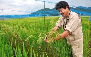 الصورة: مزارعو الأرز في فوكوشيما يكافحون لاستعادة الثقة