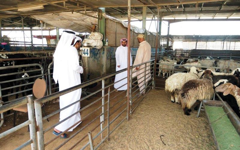 الصورة: اقتصادية دبي تحذّر التجار من رفع أسعار المواشي في رمضان