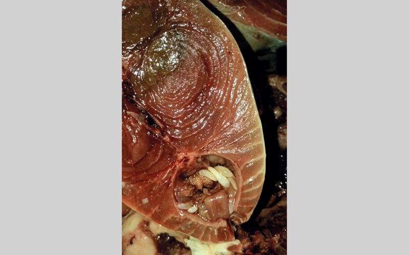الصورة: بالفيديو ..مواطنة تكتشف ديداناً بسمكة طازجة في سوق الذيد