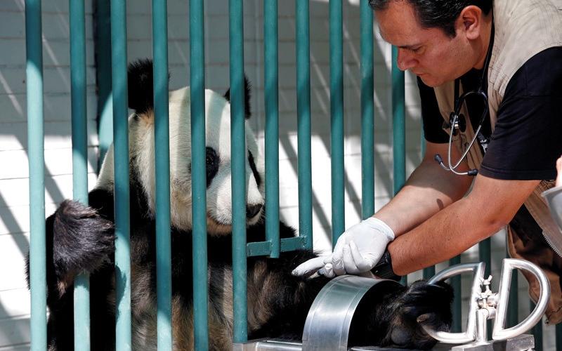 الصورة: مكسيكو سيتي موطن لأكبر اثنتين من «الباندا» العملاقة