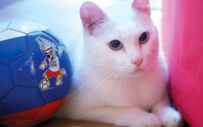 القط الروسي «أخيل» معتمد رسمياً لـ«تنبؤات المونديال». من المصدر