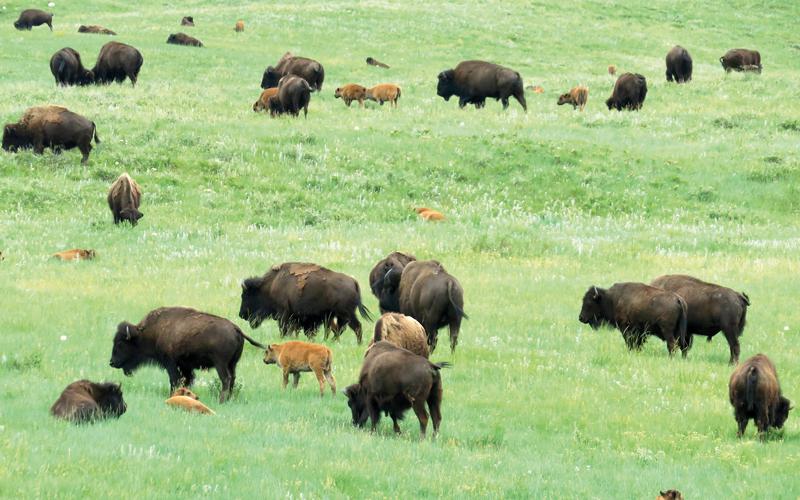تزخر محمية «كاستر ستيت بارك» بالعديد من حيوانات البيسون أو الثور الأميركي. د.ب.أ