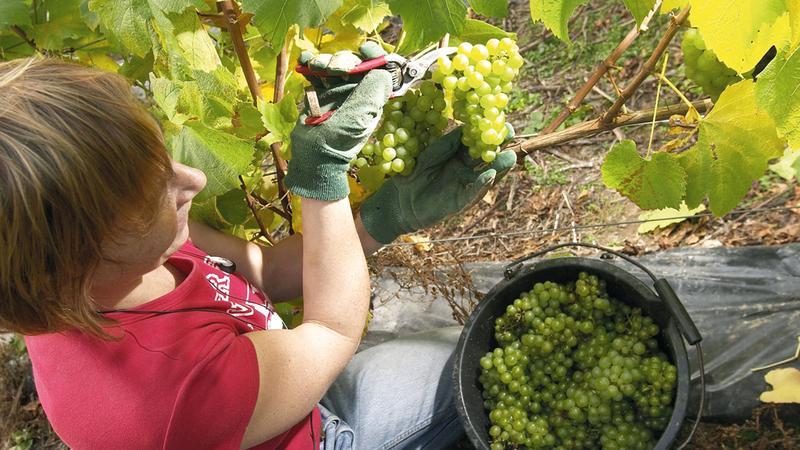 سائحة تجمع العنب في سلتها. أرشيفية