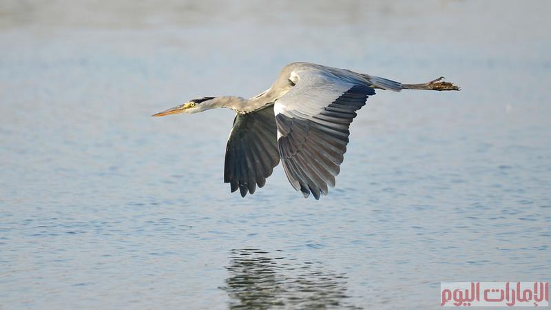 يسمى مالك الحزين في اللهجة الإماراتية باسم (بوخصيفي) ويعيش هذا الطائر بالقرب من المسطحات المائية، ويتميز بطول رقبته وساقيه النحيلتين ، ويتغذى عادة على الأسماك الصغيرة والبرمائيات .