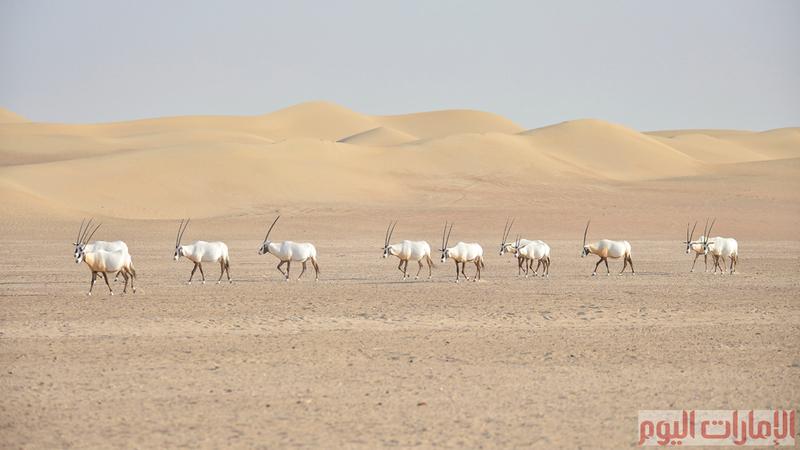 المها العربي ( الوضيحي ) كما يسمى باللهجة المحلية الإماراتية، وهي حيوانات اجتماعية تتكيف مع طبيعة الصحراء الحارة والجافة، تعد هذه الحيوانات شبه منقرضة في شبه الجزيرة العربية،
