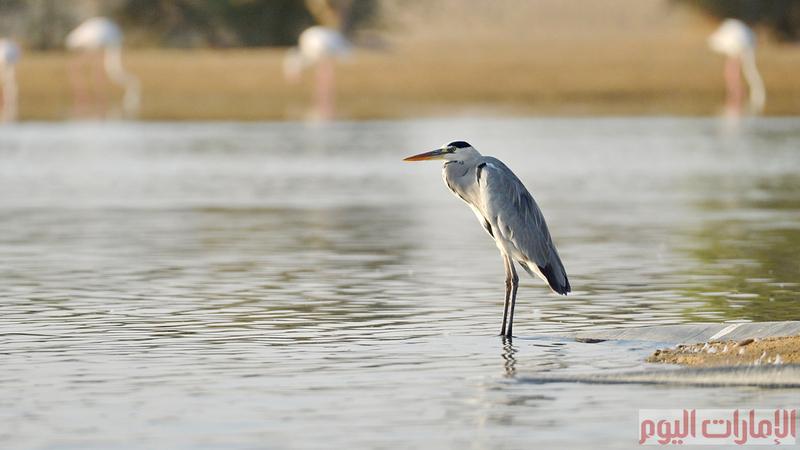 ويرجع الاعتقاد لسبب تسمية الطائر بالمالك الحزين لهيئته، فهو لا يفارق المسطح المائي الذي يعيش فيه حتى لو جفت مياهه ويقف أمامه مطأطئ الرأس.
