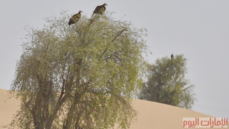 كانت هذه الطيور متواجدة في الدولة بكثرة ولكن بعد التمدن وتدورير بقايا الحيوانات والجيف تناقصت اعدادها بشكل كبير، وقامت العديد من الجهات المعنية بجهود كبيرة لحماية هذه الطيور من الانقراض