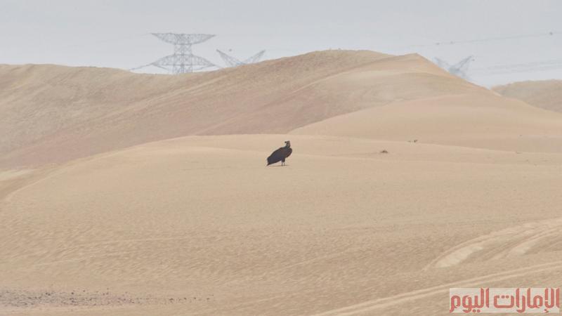 يمكن ملاحظة اعداد كبيرة منها في العديد من المحميات منها محمية المرموم الصحراوية.
