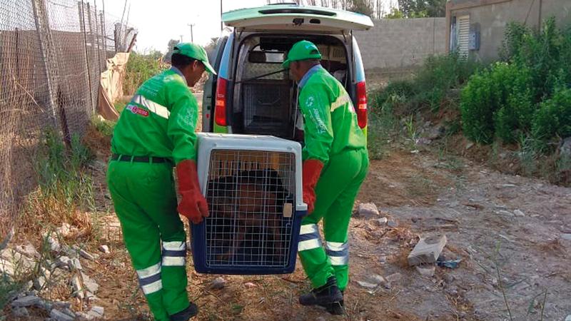 «تدوير» يتعامل مع القطط السائبة عبر نظام TNR «صيد – تعقيم – إعادة» المعتمد عالمياً. من المصدر
