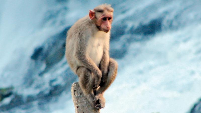 تم استنساخ القردة الخمسة في شنغهاي باستخدام طريقة نقل نواة الخلية الجسدية.  أرشيفية
