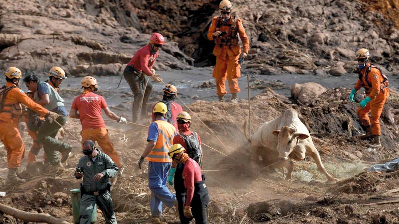 رجال الإنقاذ ينتشلون بقرة طمرت جزئياً تحت الحطام.  رويترز