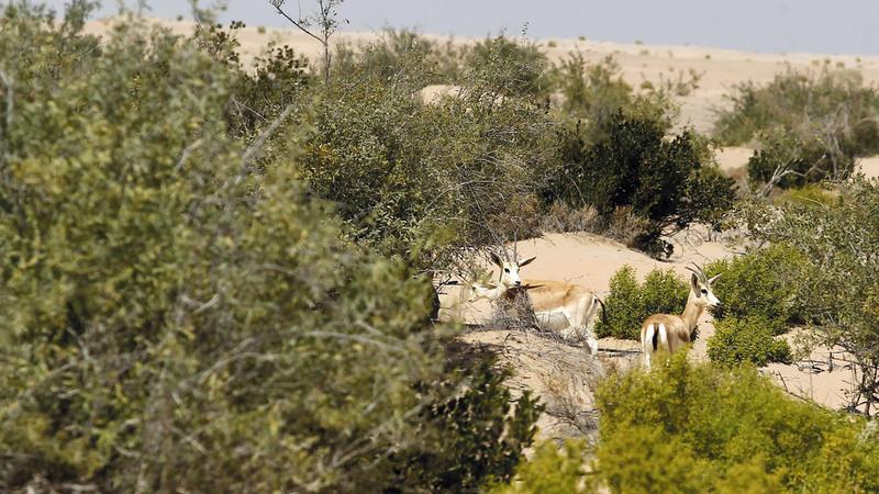 الجولة الإعلامية تضمنت زيارة غابة المحمية التي تنتشر فيها قطعان الظبي والأرانب البرية والحبارى. من المصدر