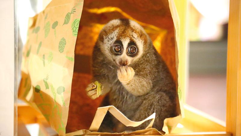 أصل الحيوان الذي يتميّز بعيونه الواسعة يعود إلى غابات آسيا. من المصدر