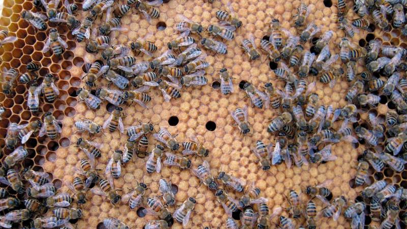 النحل يصدّ هجمات الفيلة على المزارع. غيتي