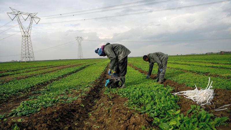 عمال أفارقة يعملون في المزارع في إيطاليا بأجر أقل من الحد الأدنى.  من المصدر