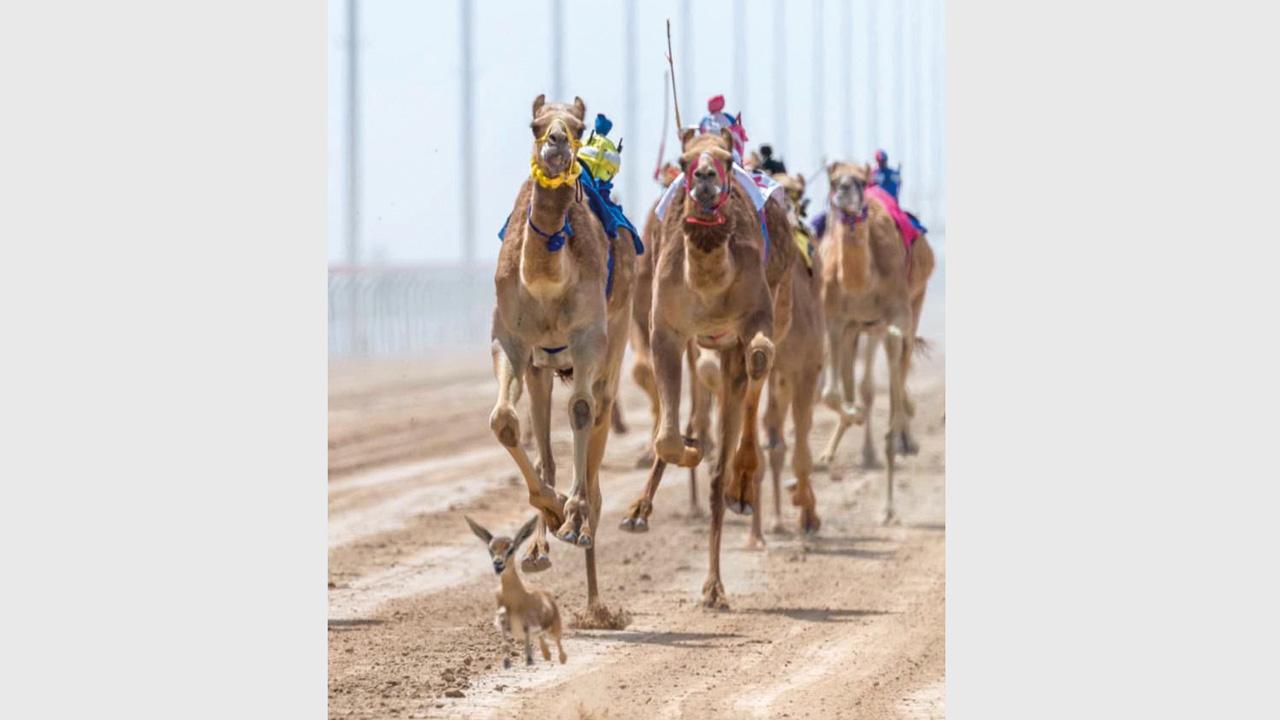 نشر سمو الشيخ حمدان بن محمد بن راشد آل مكتوم، ولي عهد دبي، صورة على حسابه في «إنستغرام»، يظهر فيها ظبي يقتحم مضمار سباق الهجن، خلال اليوم الثاني من مهرجان «ختامي المرموم» في نادي دبي لسباقات الهجن أمس. من المصدر