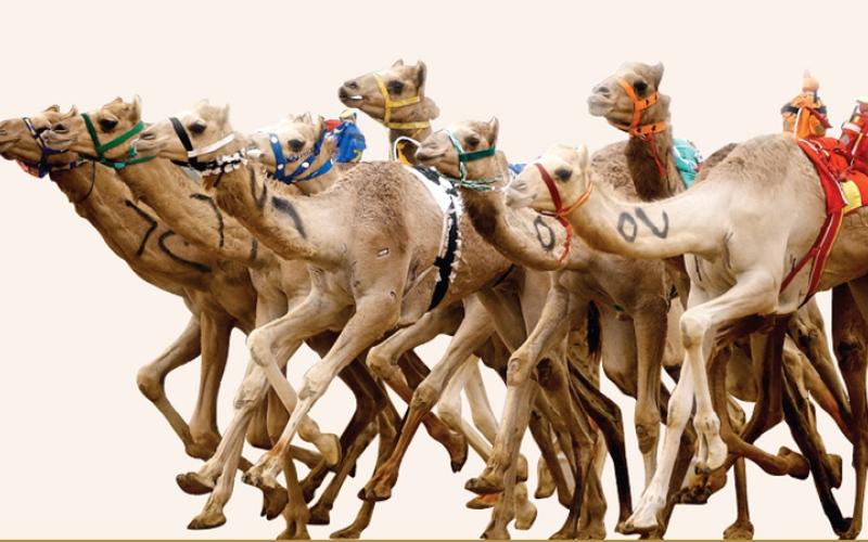 الصورة: غرافيك.. سيف الإمارات يغري «نخبة الهجن» في ختامي المرموم