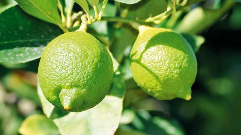 بيوت إماراتية كثيرة تحرص على زراعة شجرة الليمون. أرشيفية