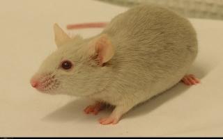 الصورة: أسبانيا.. فأر يقتحم جلسة برلمان.. فيديو
