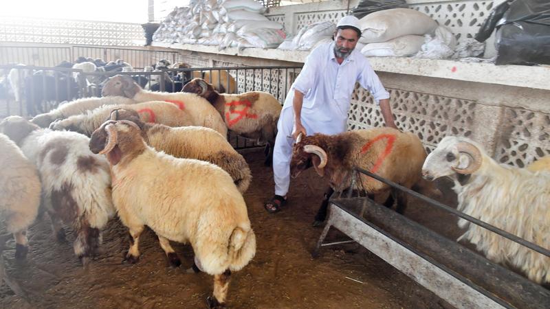 الأضاحي المحلية تشهد إقبالاً مرتفعاً لجودة لحومها. تصوير: نجيب محمد