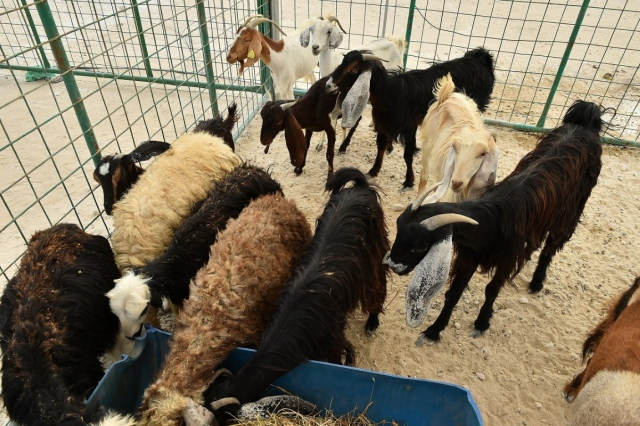 Livestock farmers want to prevent heat stress with 'fresh feed' and