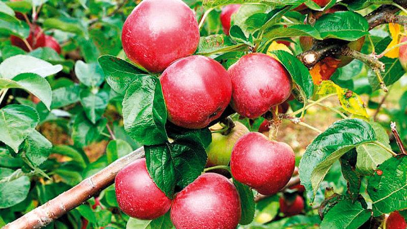 ثلث محصول التفاح السنوي لم يتم قطافه. أرشيفية