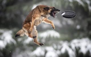 الصورة: بالصور.. كلاب ماهرة في التقاط الأقراص الطائرة