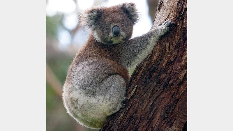 الكوالا يواجه خطر الانقراض. أرشيفية