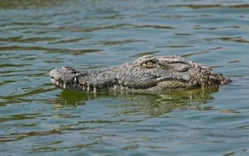 الصورة: هاجمه تمساح وكاد يلتهمه.. كيف نجا بأعجوبة؟