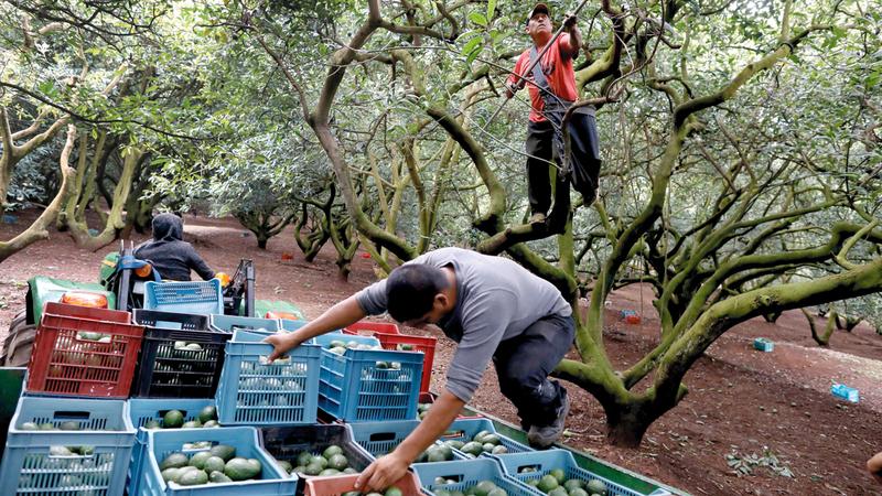 مجموعة «فياغراس» فرضت ضريبة على السكان الذين يملكون أشجار «الأفوكادو». أرشيفية