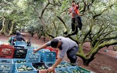 الصورة: العصابات الإجرامية في المكسيك تتصارع على زراعة «الذهب الأخضر»