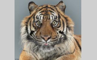 الصورة: بالصور.. بورتريه القطط البرية