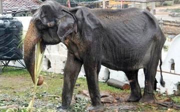 الصورة: نفوق فيلة مسنّة بعد سنوات من خدمتها للسيّاح