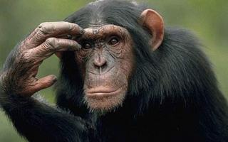 الصورة: شمبانزى يقتل غوريلا ويأكلها