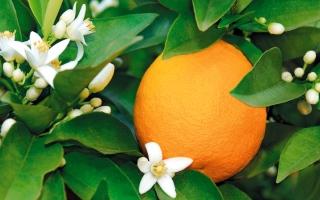 الصورة: ماء زهور البرتقال.. ينبوع جمال