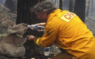 """الصورة: بالفيديو.. """"الكوالا"""" تطلب الماء من البشر والموت يحاصرها حرقاً وجوعاً"""