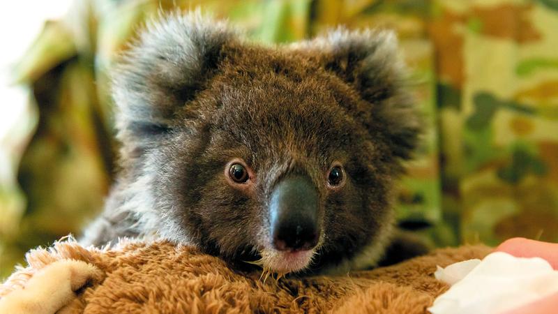 حيوان الكوالا مهدد بالانقراض بسبب الحرائق. أ.ف.ب