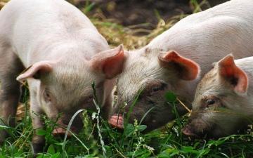 الصورة: خنازير تأكل صاحبها في مزرعة ببولندا