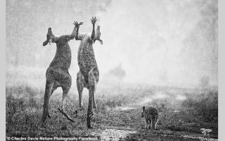 """الصورة: حقيقة صورة """"كنغري استراليا"""" الراقصين احتفالاً بالمطر"""