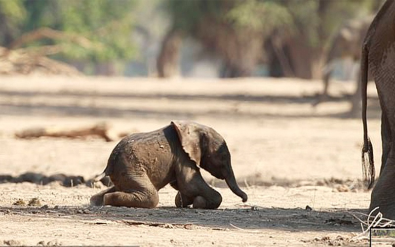 الصورة: بالفيديو: لقطات مدهشة توثق قيام فيل صغير بالمشي للمرة الأولى