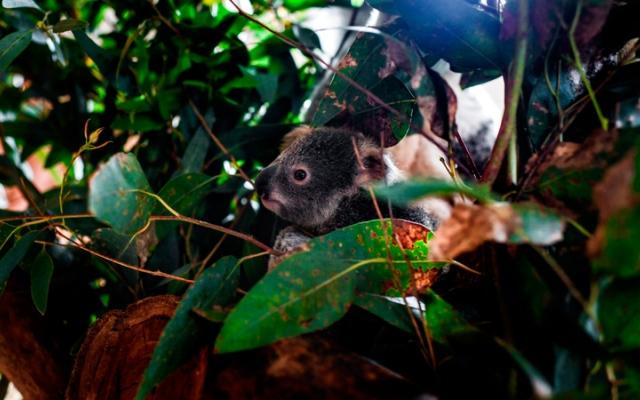الصورة: الكوالا.. الأسوأ تضرراً من حرائق أستراليا