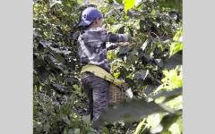 الصورة: «ستاربكس» و«نسبرسو» متهمتان باستغلال  الأطفال في المزارع