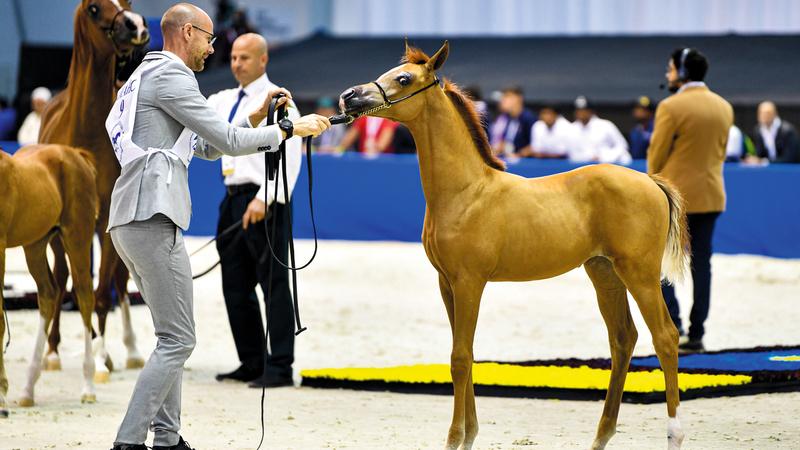 الخيول العربية تواصل إبهارها في بطولة دبي الدولية. ■ تصوير: آشوك فيرما
